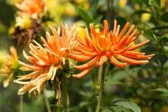 flores anaranjadas de la dalia en jardín Foto de archivo libre de regalías