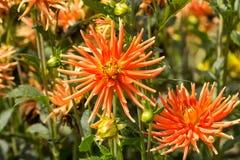 flores anaranjadas de la dalia en jardín Fotos de archivo libres de regalías