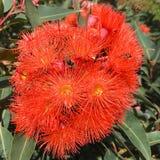 Flores anaranjadas de la goma Fotos de archivo libres de regalías