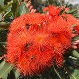 Flores anaranjadas de la goma Foto de archivo