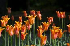 Flores anaranjadas de la primavera de los tulipanes en el parque Fotografía de archivo libre de regalías