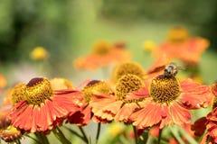 Flores anaranjadas del autumnale del helenium Fotografía de archivo