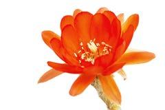 Flores anaranjadas del cactus en un fondo blanco Fotografía de archivo libre de regalías