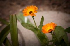 Flores anaranjadas del calendula Imagen de archivo libre de regalías