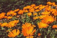 Flores anaranjadas del calendula en el jardín Imagen de archivo