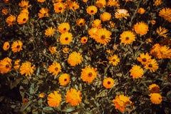 Flores anaranjadas del calendula en el jardín Fotos de archivo libres de regalías