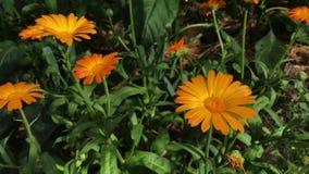 Flores anaranjadas del Calendula Officinalis Planta medicinal almacen de video