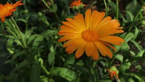 Flores anaranjadas del Calendula Officinalis Planta medicinal almacen de metraje de vídeo