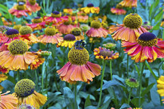 Flores anaranjadas del cono en un jardín. Fotografía de archivo libre de regalías