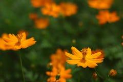 Flores anaranjadas del cosmos Imagen de archivo