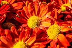 Flores anaranjadas del crisantemo Foto de archivo