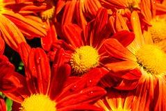 Flores anaranjadas del crisantemo Imagen de archivo libre de regalías