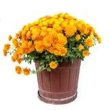 Flores anaranjadas del crisantemo en un cierre marrón de la maceta para arriba Fotografía de archivo