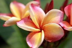 Flores anaranjadas del frangipani fotos de archivo libres de regalías