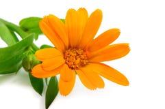 Flores anaranjadas del gerber Fotografía de archivo