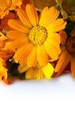 Flores anaranjadas del gerber Foto de archivo libre de regalías