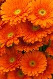 Flores anaranjadas del gerbera Fotografía de archivo