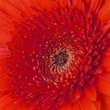 Flores anaranjadas del gerbera aisladas Fotos de archivo libres de regalías