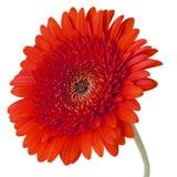 Flores anaranjadas del gerbera aisladas en el fondo blanco Imagen de archivo