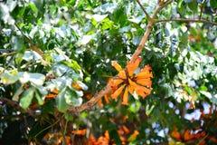 Flores anaranjadas del ignea de Radermachera imagen de archivo