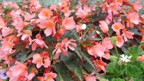 Flores anaranjadas del jardín con el leavesN púrpura Imagen de archivo