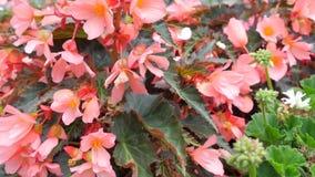 Flores anaranjadas del jardín con Listyami púrpura Movimiento con una sola flor de la parte inferior, top de la cámara con una de almacen de video