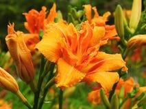 Flores anaranjadas del lirio Imágenes de archivo libres de regalías