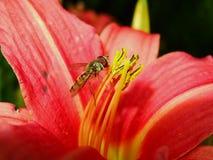 Flores anaranjadas del lirio de día y abeja de trabajo Fotografía de archivo