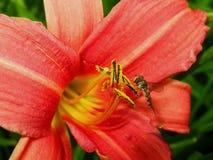 Flores anaranjadas del lirio de día y abeja de trabajo Foto de archivo libre de regalías