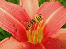 Flores anaranjadas del lirio de día y abeja de trabajo Fotografía de archivo libre de regalías