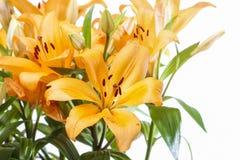 Flores anaranjadas del lirio en el fondo blanco Fotografía de archivo
