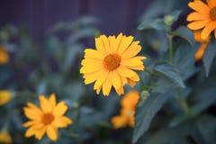 Flores anaranjadas del verano brillante en un fondo azul con las hojas foto de archivo