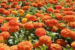 Flores anaranjadas del zinnia Imágenes de archivo libres de regalías