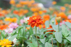 Flores anaranjadas del zinnia Fotos de archivo