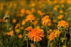 Flores anaranjadas en campo Imágenes de archivo libres de regalías