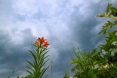 flores anaranjadas florecientes salvajes del lirio en fondo azul hermoso del cielo del trueno primer imagen de archivo