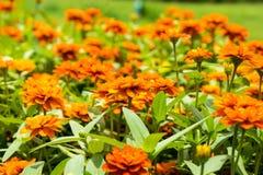 Flores anaranjadas hermosas con las hojas verdes imagenes de archivo