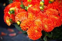 Flores anaranjadas hermosas de las dalias Imagenes de archivo