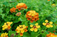 Flores anaranjadas rodeadas por las hojas verdes, contraste de colores anaranjados y verdes foto de archivo