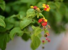Flores anaranjadas, rojas y amarillas del lantana Imagen de archivo