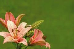 Flores anaranjadas rosadas de los lirios en fondo verde de la falta de definición foto de archivo