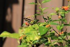 Flores anaranjadas y amarillas de la mariposa Imagen de archivo