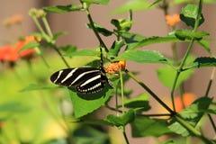Flores anaranjadas y amarillas de la mariposa Fotografía de archivo libre de regalías