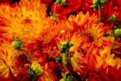 Flores anaranjadas y rojas brillantes Imágenes de archivo libres de regalías