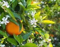 Flores anaranjados y anaranjados valencianos Primavera Imagen de archivo libre de regalías