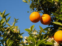 Flores anaranjados y anaranjados valencianos Primavera Imagenes de archivo