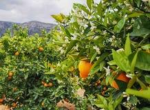 Flores anaranjados y anaranjados valencianos españa Primavera Imágenes de archivo libres de regalías