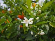 Flores anaranjados y anaranjados valencianos españa Primavera Imagen de archivo