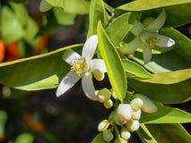 Flores anaranjados y anaranjados valencianos españa Primavera Foto de archivo libre de regalías