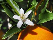 Flores anaranjados y anaranjados valencianos españa Primavera Imagenes de archivo